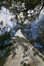 eucalipto (foto: Anna Luciani)