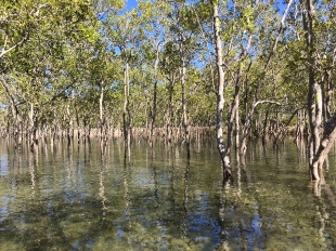Brunswick River, Mangrovie (foto: Anna Luciani)