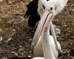 pellicani a Erowal Bay. Notare lo sguardo (foto: Anna Luciani)