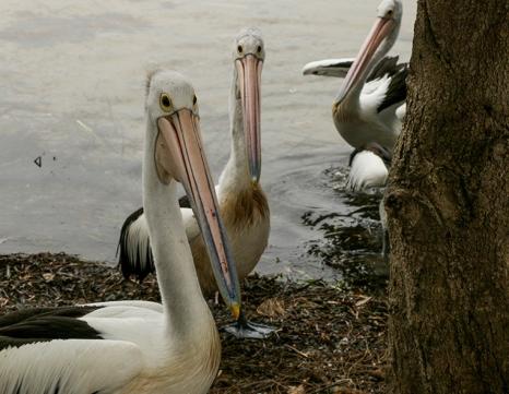 pellicani a Erowal Bay (foto: Anna Luciani)