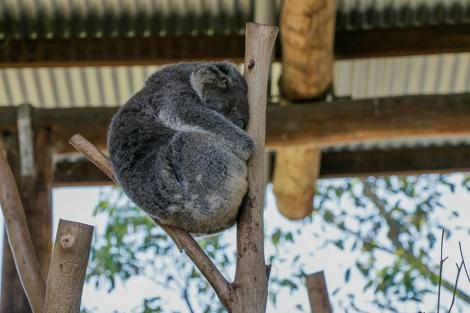 new-castle_koala-canguri-5-copia