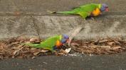"""Rainbow Lorikeet, i """"passerotti"""" australiani (foto: Anna Luciani)"""