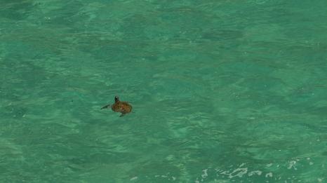 tartaruga di mare (foto: Anna Luciani)