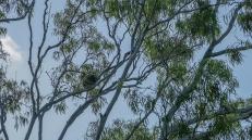 koala (foto: Anna Luciani)