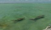 Dugong (immagine estratta dal video di Simone Chiesa)