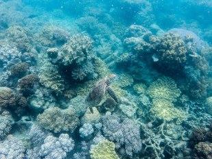 tartaruga marina (foto: Anna Luciani)