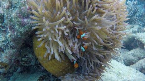 pesci pagliaccio... nemo per gli amici! nascosti nelle loro anemoni (foto: Anna Luciani)