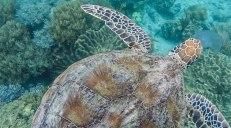 tartaruga marina che mangia una medusa (foto: Anna Luciani)