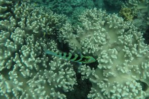 parrot fish (foto: Anna Luciani)