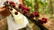 i frutti inebrianti per gli uccelli (foto: Anna Luciani)