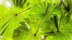 Fan Palm (foto: Anna Luciani)