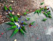 Rainbow Lorikeets (foto: Anna Luciani)