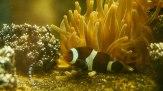 Amphiprion ocellaris Cuvier, è un pesce marino appartenente alla famiglia Pomacentridae, conosciuto con il nome di pesce pagliaccio. (foto: Anna Luciani)