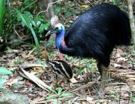 Casuario meridionale (foto: http://www.ornitour.it/eastern_australia_2014.html)