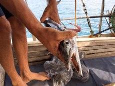 barracuda pescato da Jules. Il barracuda è una specie non commestibile, dicono essere velenosa per l'uomo (foto: Anna Luciani)