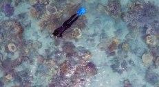 snorkeling nella barriera corallina di Hook Island (Immagine estratta da una ripresa aerea con drone. Video e Foto: Simone Chiesa)