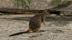 Granite Gorge Nature Park. Wallaby (foto: Anna Luciani)