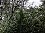 Yakka: questa pianta cresce rigogliosa sull'isola. Le sue foglie crescono un centimetro all'anno... sono qui da un po'. (foto: Anna Luciani)