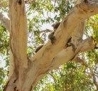 Koala in libertà a Kangaroo Island (foto: Anna Luciani)