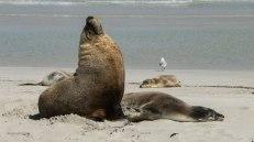 Leoni marini a Seal Bay (foto: Simone Chiesa)