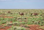 emu per la strada (foto: Anna Luciani)