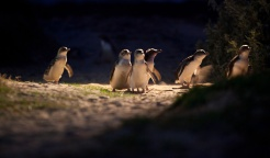 I pinguini di Phillip Island (fonte: https://www.penguins.org.au/)