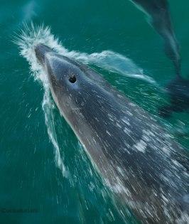 Delfini nella Baia di Port Phillip (foto: Simone Chiesa)