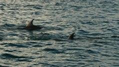 Primi avvistamenti. Come riconoscere un delfino da uno squalo... per i meno esperti (tipo me)? Osservare la traettoria della pinna: linea diritta = delfino, a zig zag = squalo. Dipende dalla coda, parallela alla superficie dell'acqua nei delfini, perpendicolare all'acqua negli squali. (foto: Anna Luciani)