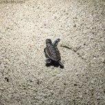 tartarughine di notte in riva al mare (foto: Anna Luciani)