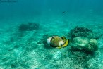 titan triggerfish (foto: Anna Luciani)