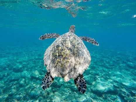 """tartaruga avvistata a """"largo"""" della costa nord-est di Gili Air (foto: Anna Luciani)"""
