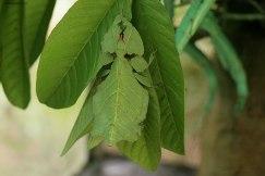 Phyllium giganteum, Bali Butterfly Park (foto: Anna Luciani)