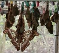 bachi di farfalle e farfalle appena nate (foto: Anna Luciani)