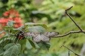 Leuconoe, Bali Butterfly Park (foto: Anna Luciani)