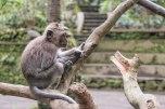 scimmie del Sacred Monkey Forest Sanctuary (foto: Anna Luciani)