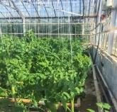coltivazione di pomodori a Reykholt (foto: Anna Luciani)