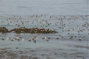 un mare di edredoni (foto: Anna Luciani)