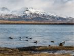 Alla scoperta dei paesaggi a nord della città con Bergthor, il nostro couch a Reykjavik. Edredoni (foto: Anna Luciani)