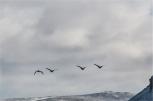 Alla scoperta dei paesaggi a nord della città con Bergthor, il nostro couch a Reykjavik. Oche in volo (foto: Anna Luciani)
