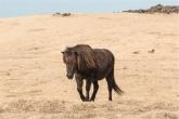 cavallo islandese: NON è un Pony (foto: Anna Luciani)