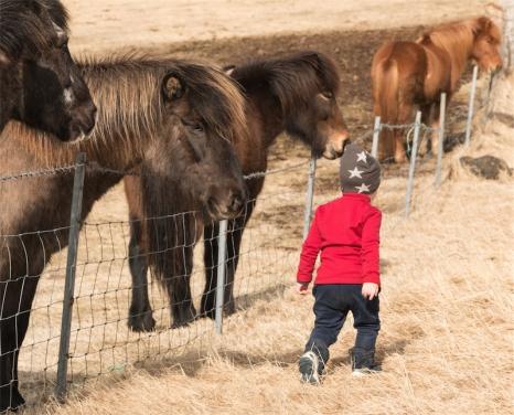 cavalli islandesi (foto: Anna Luciani)