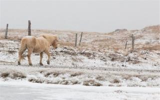 cavalli islandesi nella bufera di neve... no, NON sono pony! (foto: Anna Luciani)