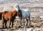 cavalli islandesi: NON sono pony (foto: Anna Luciani)