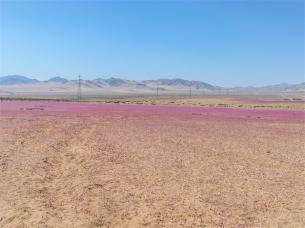 Deserto di Atacama fiorito, ottobre 2005 (foto: Anna Luciani)