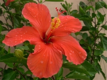 Ibiscus do meu amado Brasil, il giardino di Berenice (foto: Anna Luciani)
